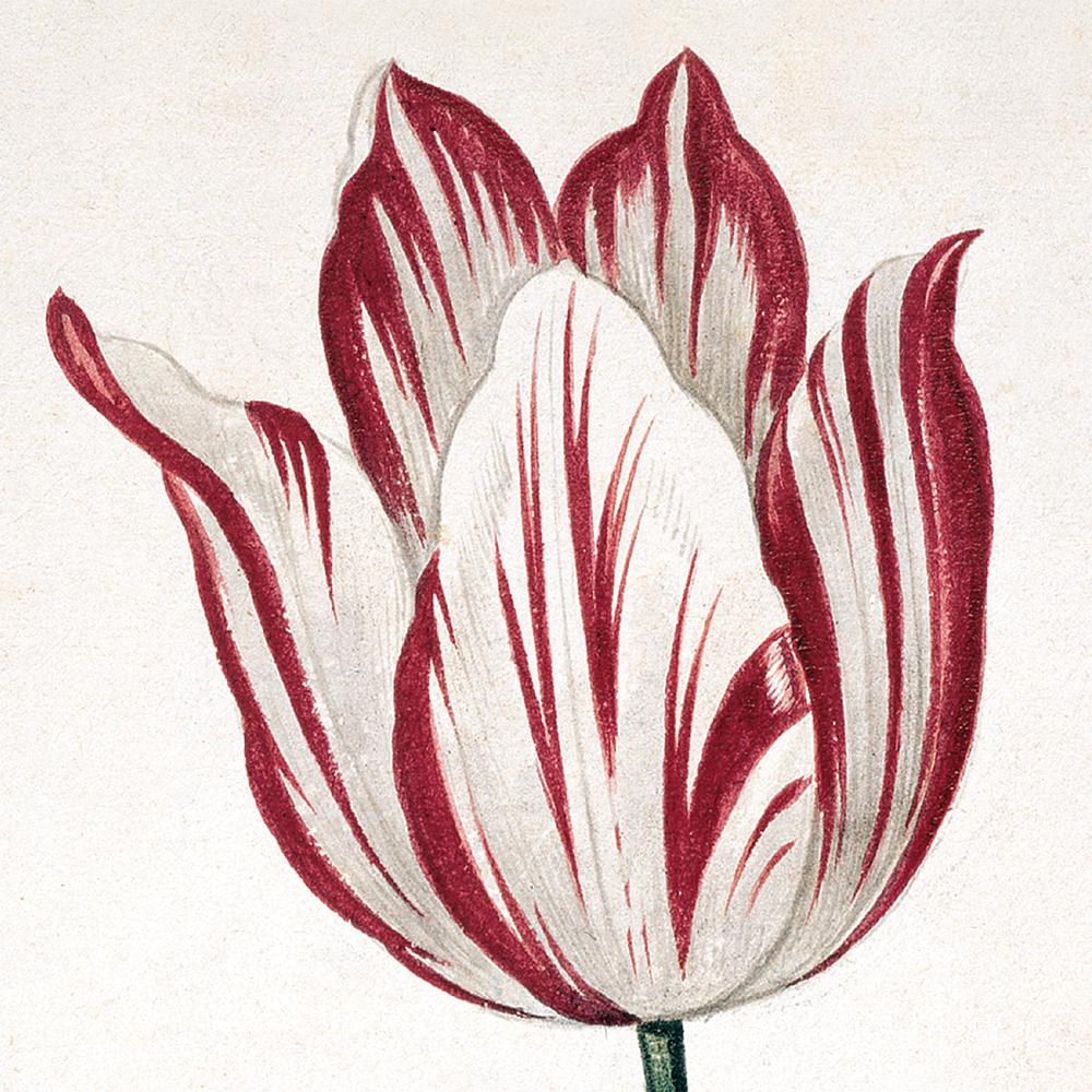 An Olinda Tulip